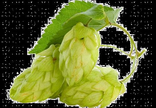 hop cones 2